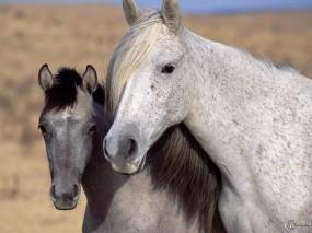 Обои Белый и серый конь: , Лошади
