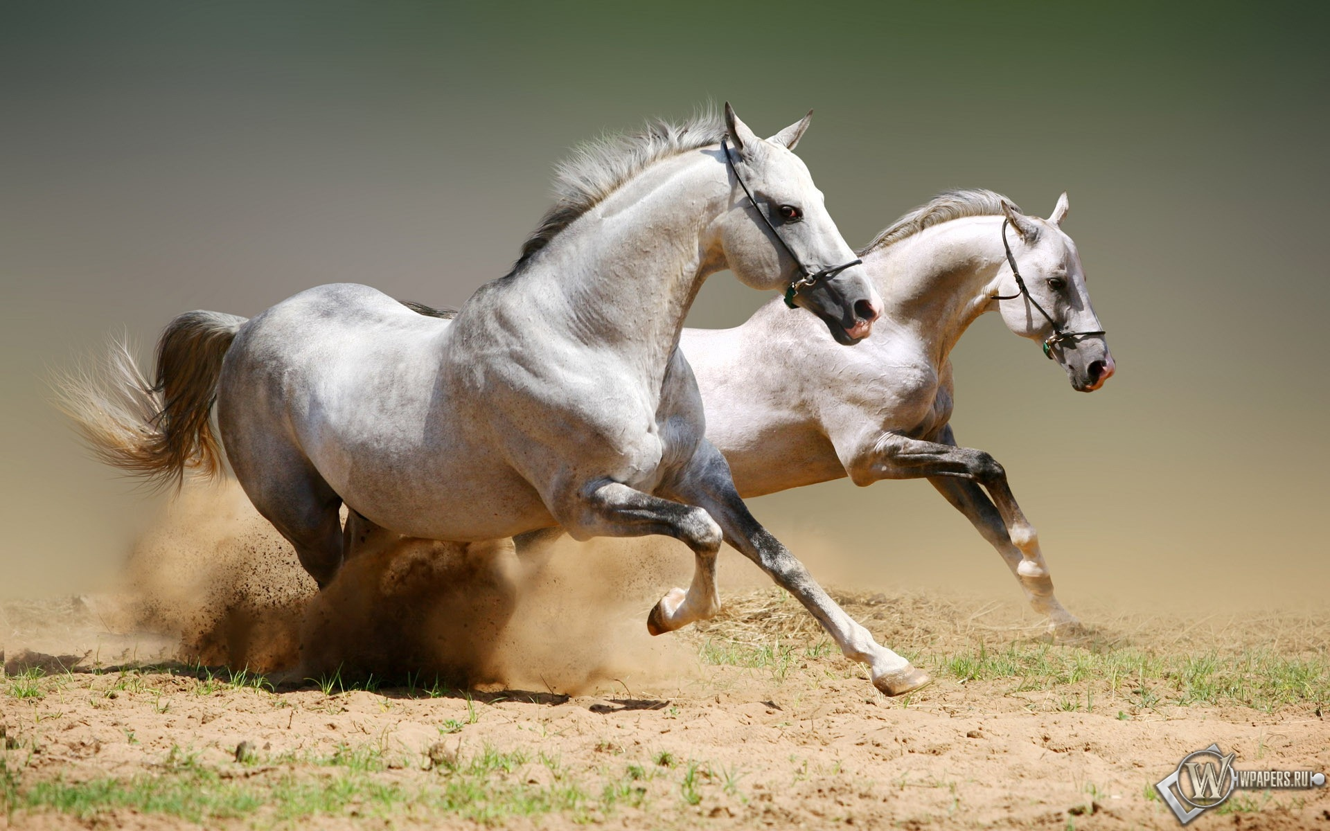 Бегущие белые лошади 1920x1200