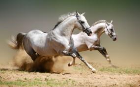 Обои Бегущие белые лошади: Пыль, Бег, Лошади, Лошади