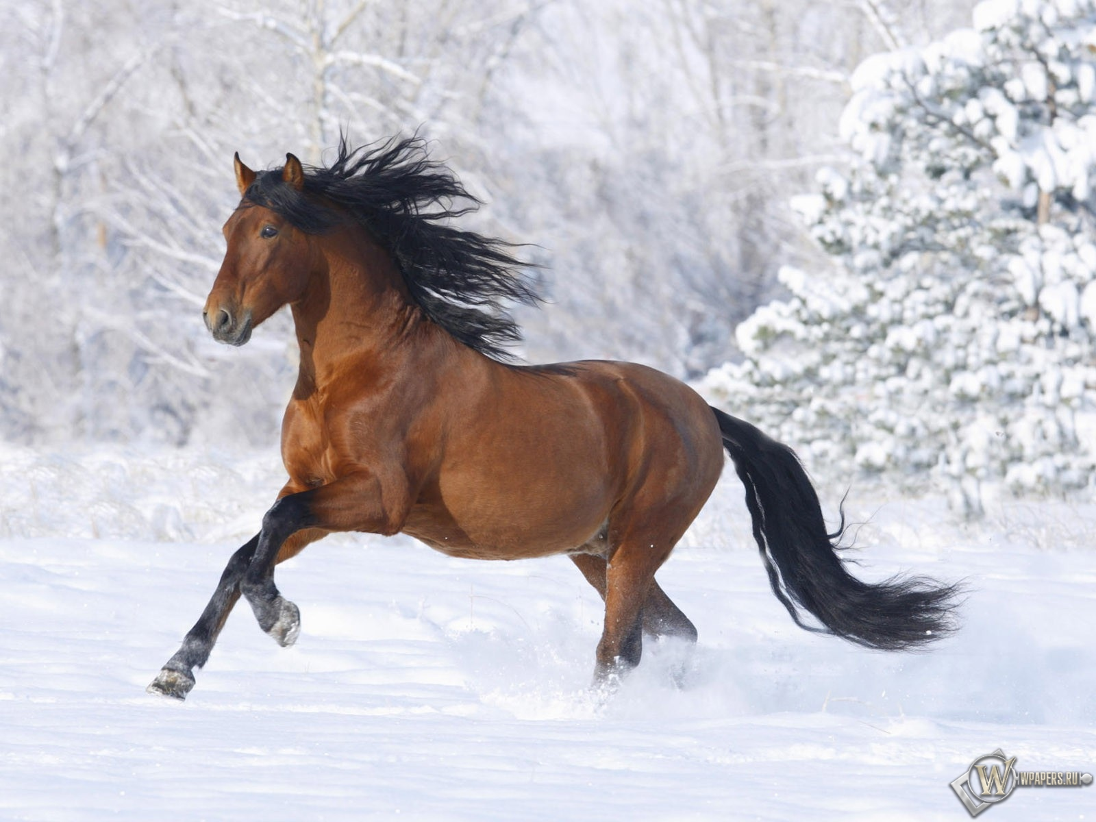Обои лошадь бегущая по снегу зима