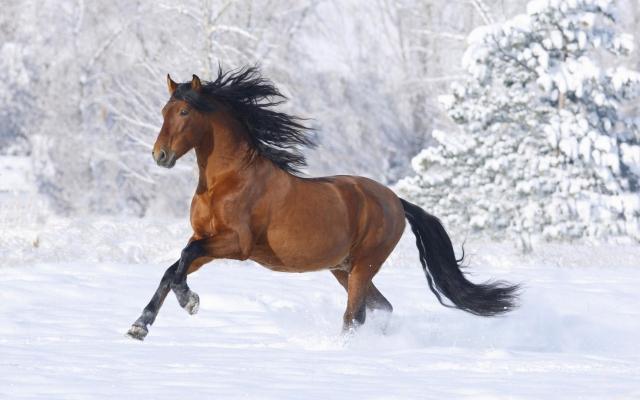 Лошадь бегущая по снегу