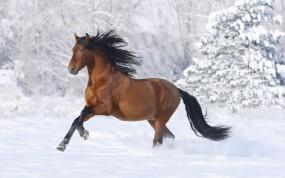 Обои Лошадь бегущая по снегу: Зима, Снег, Лошадь, Лошади