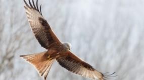 Свободный полет коршуна