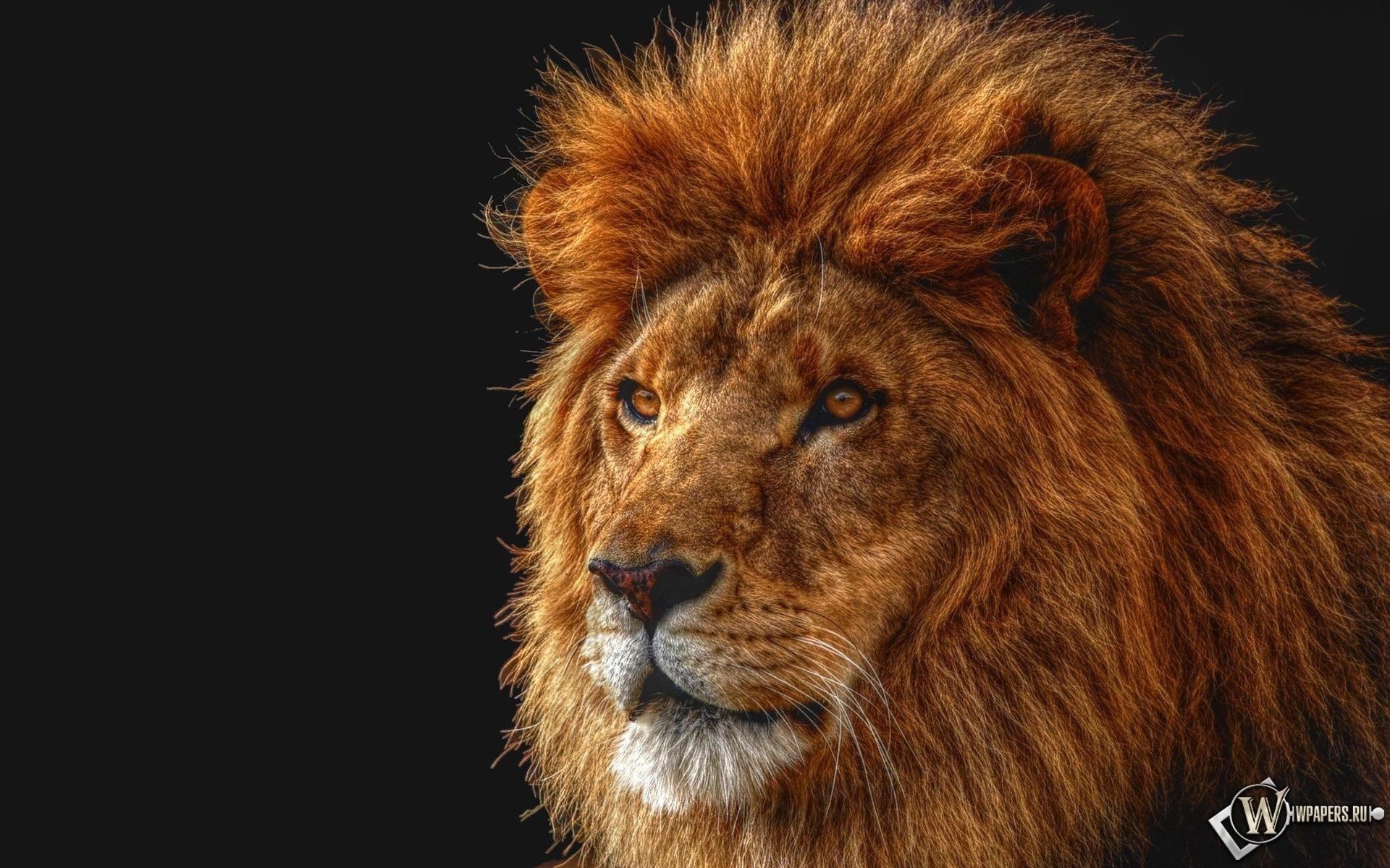 Лев на четном фоне 1920x1200