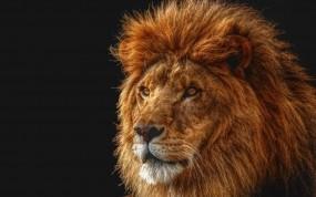 Обои Лев на четном фоне: Лев, Царь, Чёрный фон, Грива, Львы