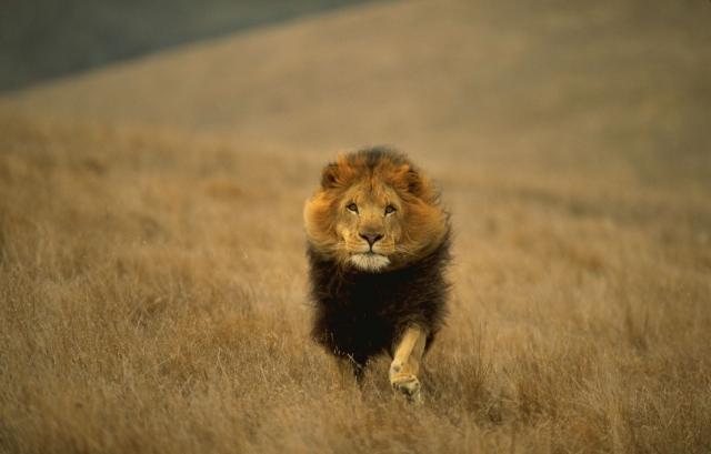 Лев-царь зверей