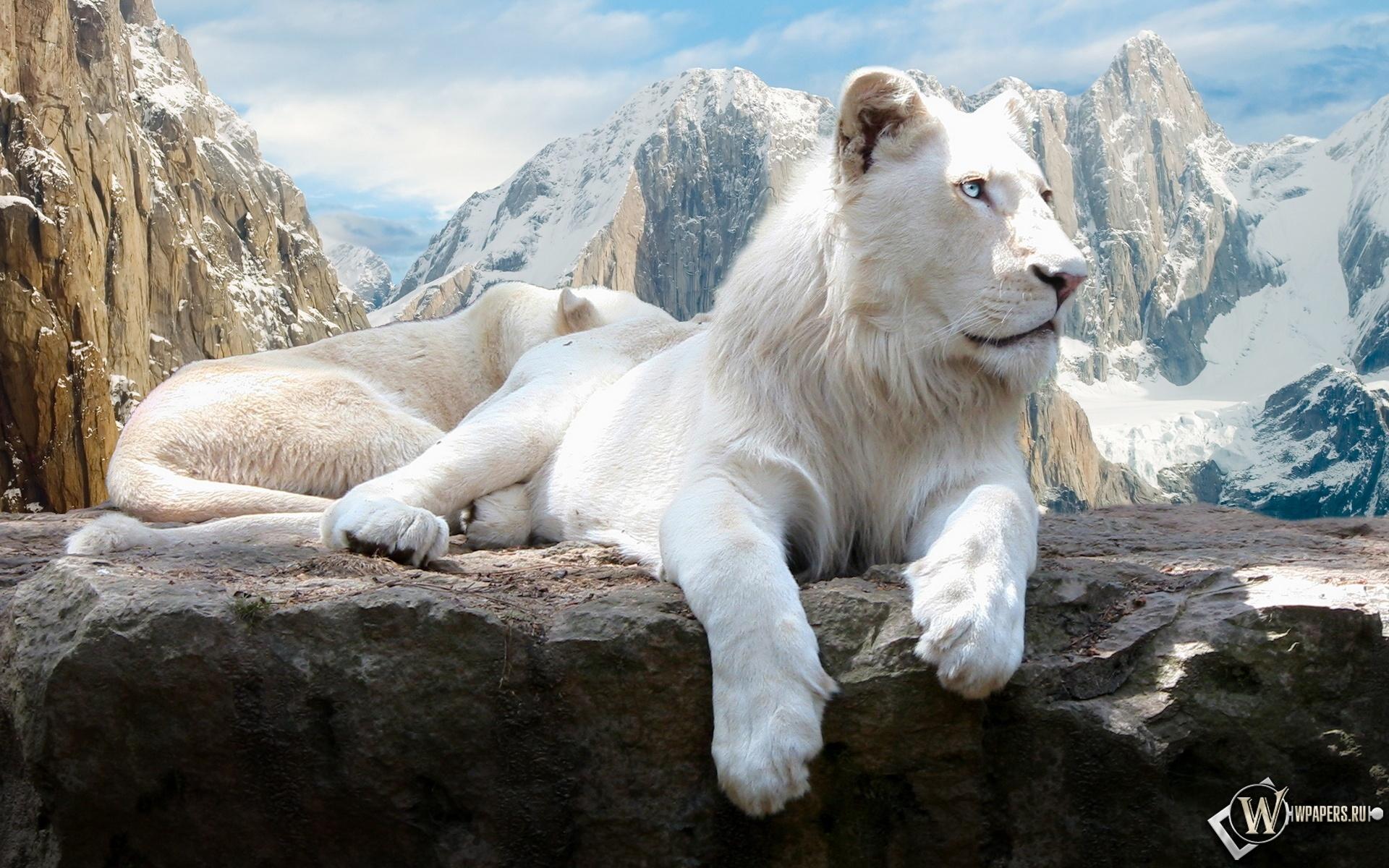 Белый лев на скале 1920x1200