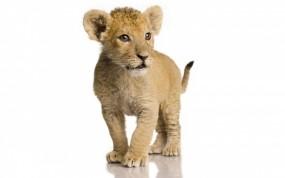 Обои Львёнок: Лев, Львенок, Львы