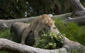Спящая львица