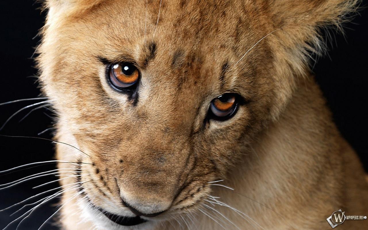 Львёнок с пронзительным взглядом 1280x800