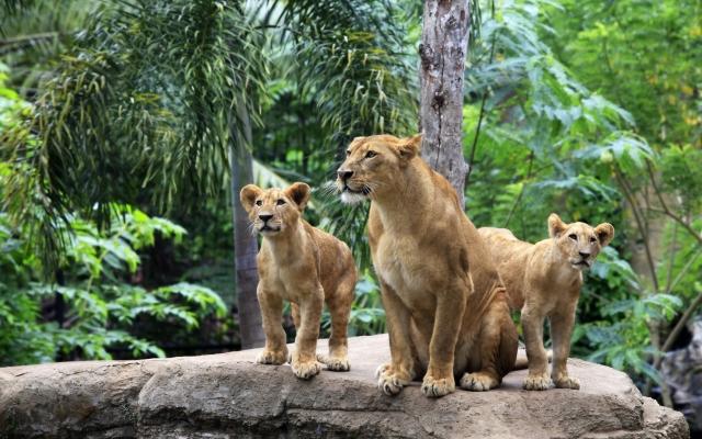 Львица и львята