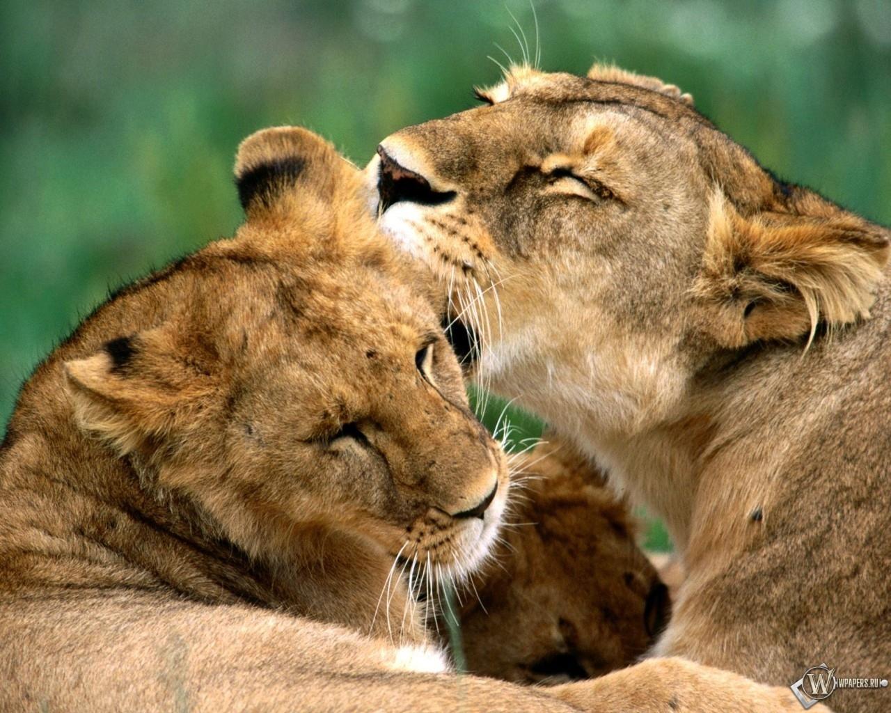 Две львицы 1280x1024