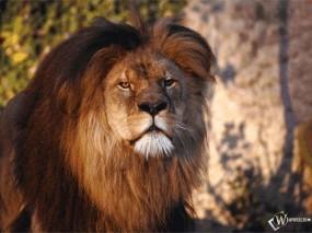Обои Уставший лев: Морда, Лев, Усталость, Львы