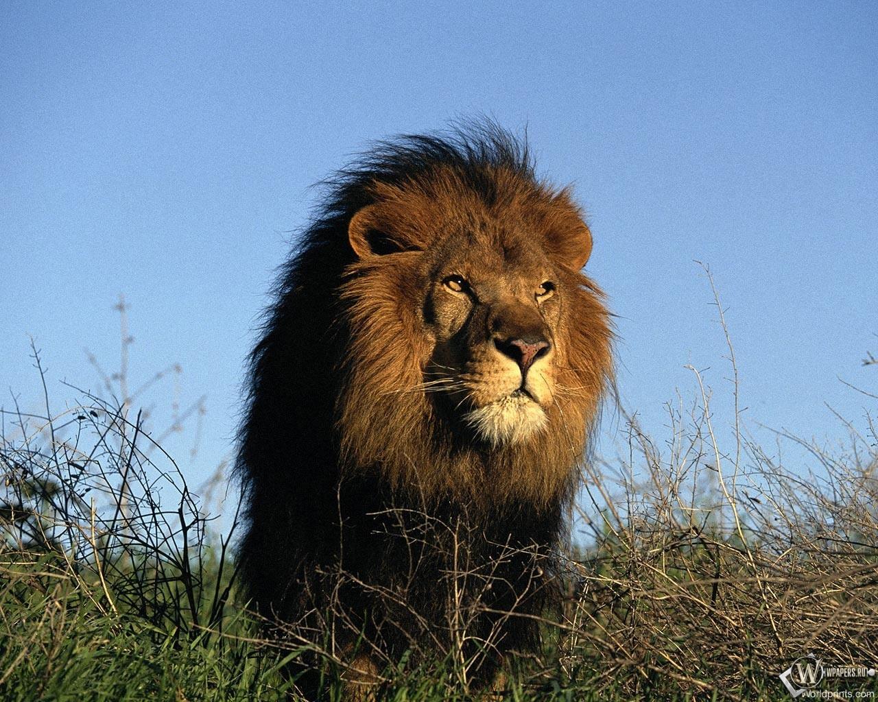 Лев в траве 1280x1024