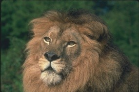 Обои Морда льва: Морда, Лев, Львы
