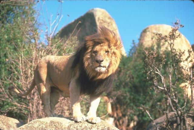 Лев на камне