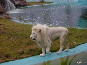 Обои Белый лев на берегу: Берег, Белый лев, Львы