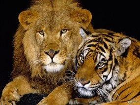 Обои Тигрица со Львом: Лев, Тигрица, Кошки, Львы