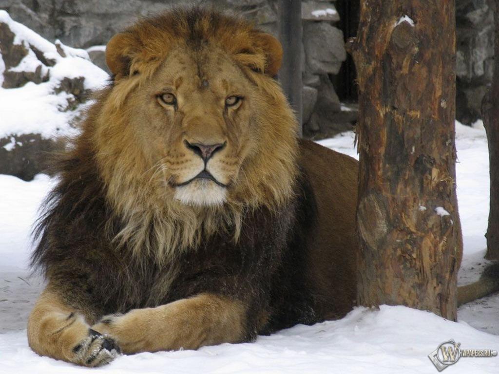Лев на снегу 1024x768