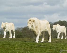 Обои Три белых льва: Поле, Белые львы, Львы