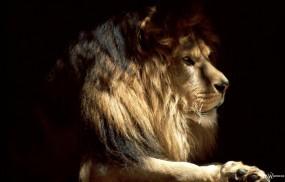 Обои Профиль Льва: Лев, Чёрный фон, Львы