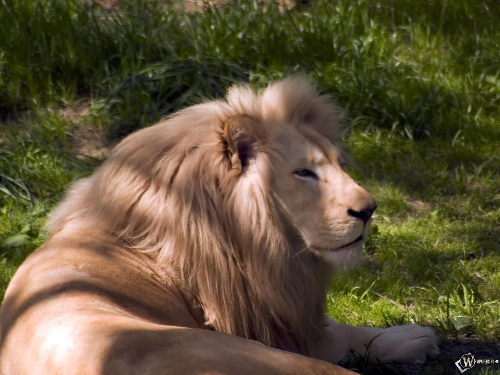 Лев отдыхает 1600x1200