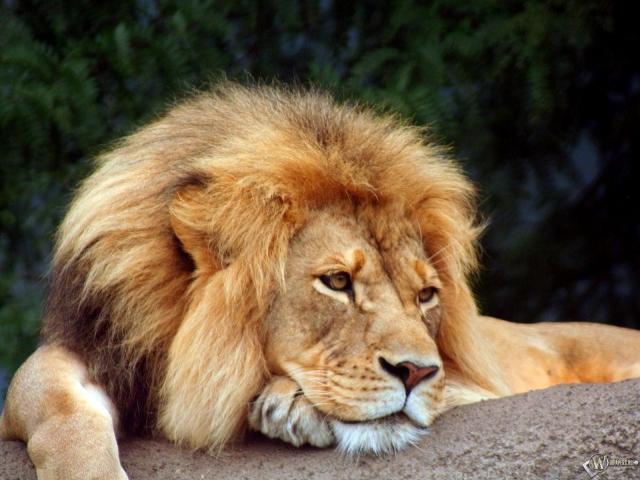 На Львівщині лев пошматував двох нетверезих чоловік