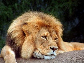 Обои Уставший Лев: Грусть, Лев, Отдых, Усталость, Львы