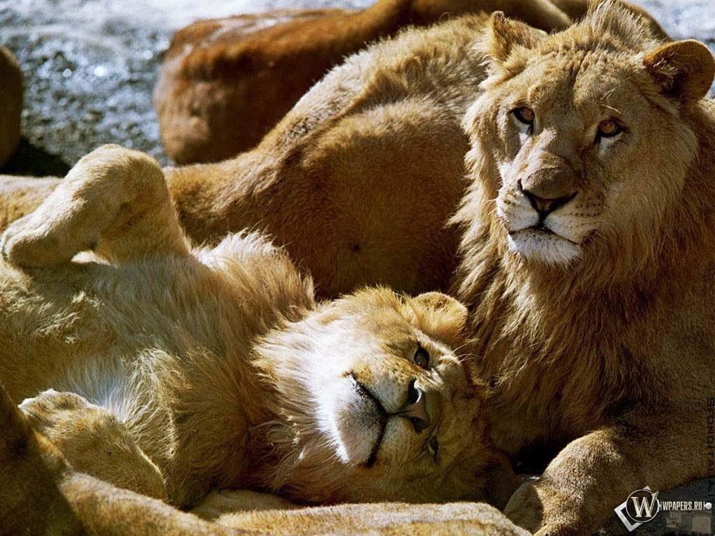 Лев со Львицей 1024x768
