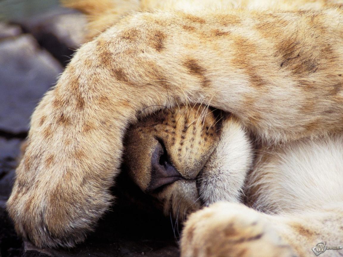 Обои львенок закрывает лицо лапой на
