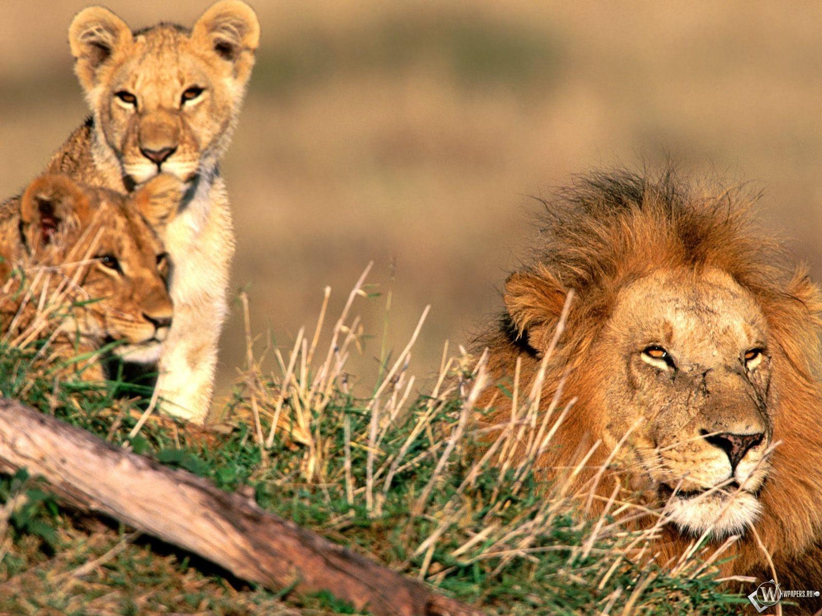 Семейство львов 1600x1200