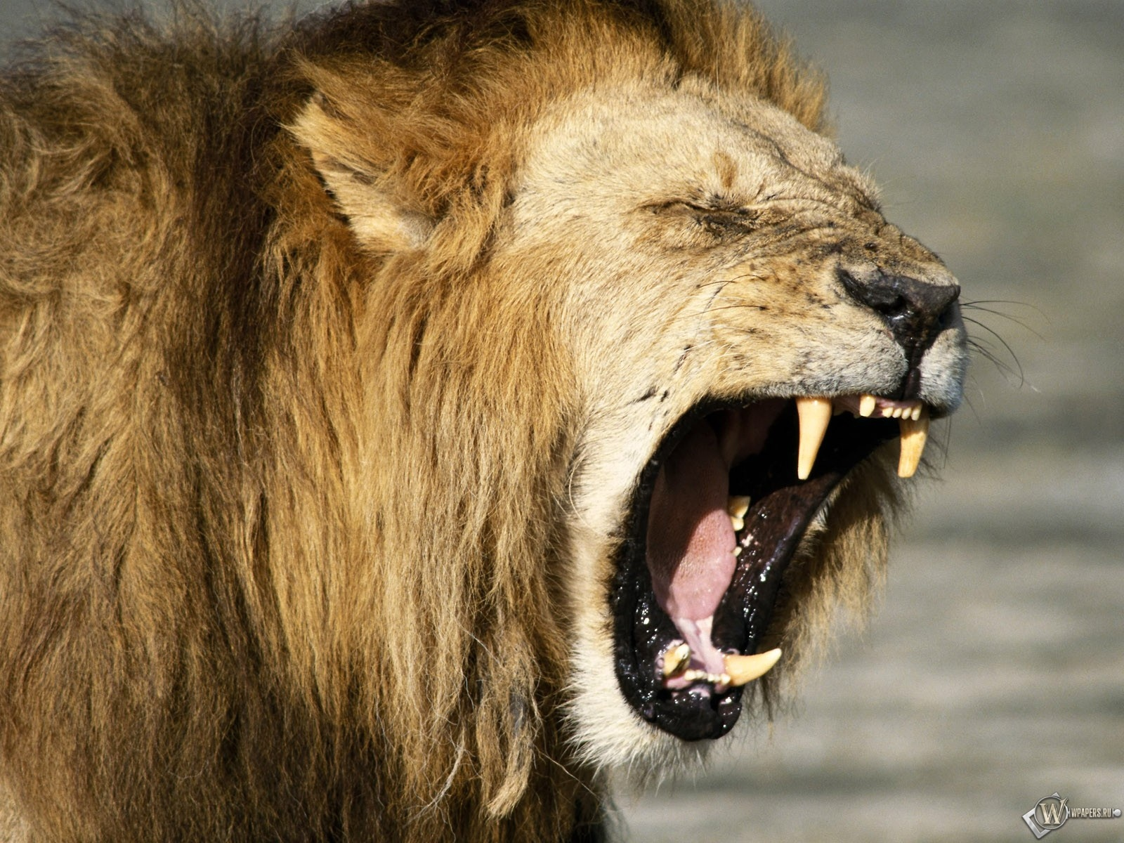 Очень злой лев 1600x1200