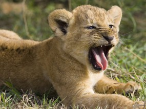 Обои Львенок зевает: Зевает, Львенок, Львы