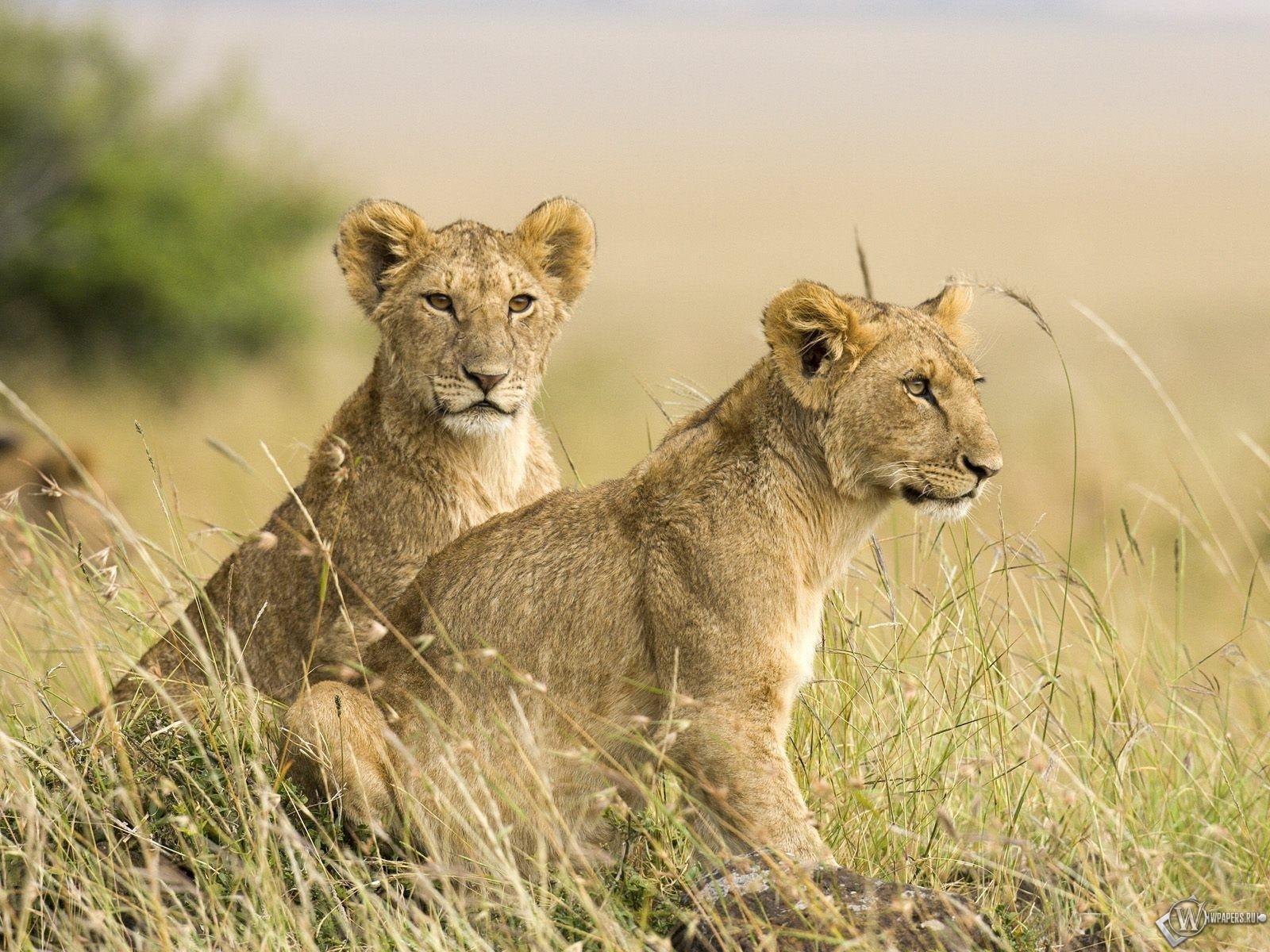 Два львенка 1600x1200