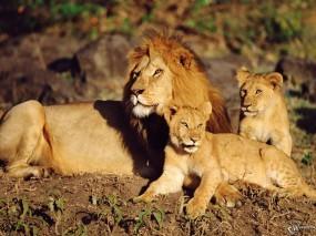 Обои Семейство львов: Львы, Семья, Львы