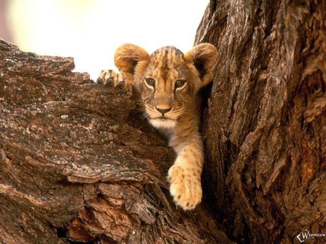 Львенок на дереве