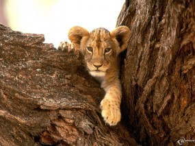Обои Львенок на дереве: Дерево, Львенок, Львы