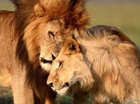 Обои Лев с львицей: Любовь, Лев, Львица, Львы