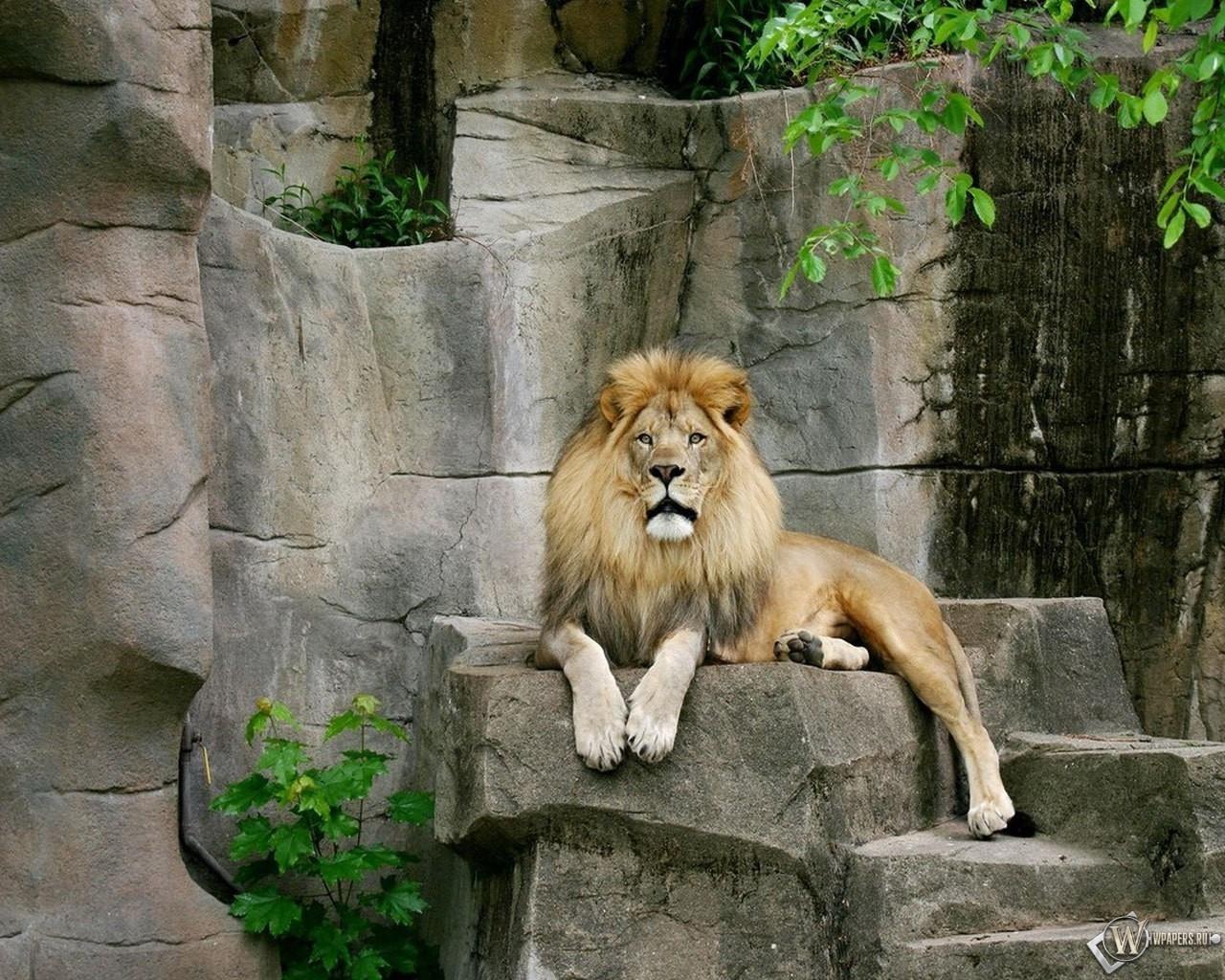 Лев на камнях 1280x1024