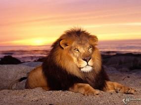 Обои Лев на закате: Фото, Закат, Лев, Львы
