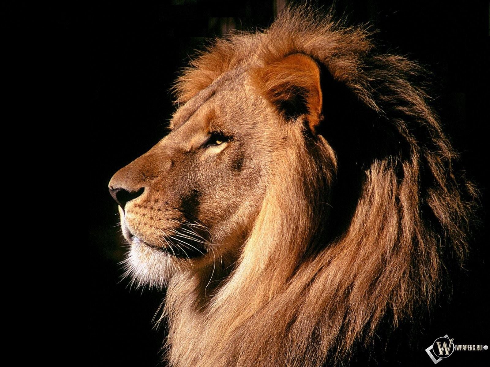 Лев на черном фоне 1600x1200