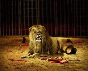 Обои Лев с плеткой: Лев, Плетка, Львы