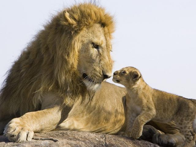 Лев со львенком