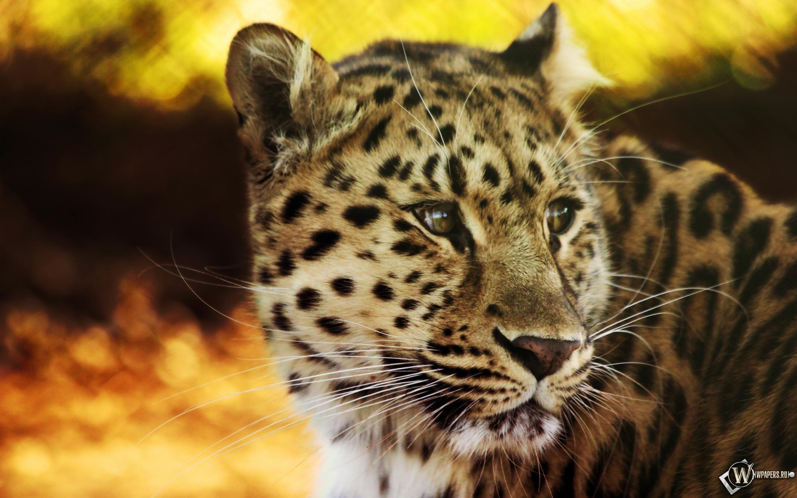 Взгляд леопарда 2560x1600