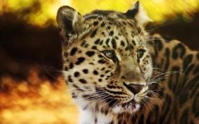 Обои Взгляд леопарда: Леопард, Взгляд, Леопарды