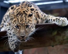 Обои Дальневосточный леопард: Леопард, Глаза, Кошка, Леопарды