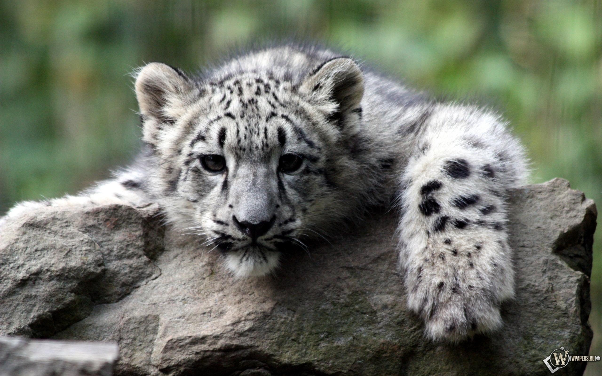 Снежный леопард 2560x1600