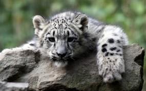 Обои Снежный леопард: Леопард, Камень, Леопарды