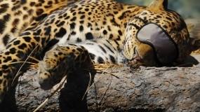 Леопард спит