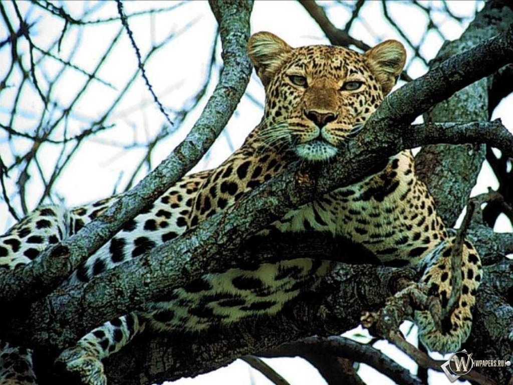 Леопард отдыхает на дереве 1024x768